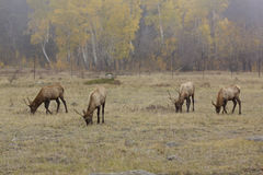 Young Bull Elk in Meadow Stock Photography
