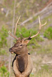 Young Bull Elk Portrait Royalty Free Stock Photos