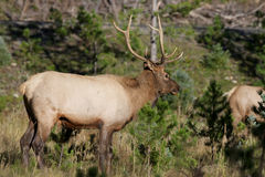 Young Bull Elk in Rut Stock Photos