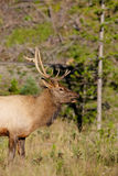 Young Bull Elk Side Portrait Stock Images