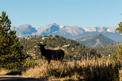 Young Bull Elk Silhouetted Royalty Free Stock Images