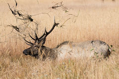 Young bull elk in wallow Stock Photo