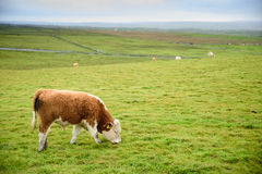 Young bull on the grassland Stock Photo