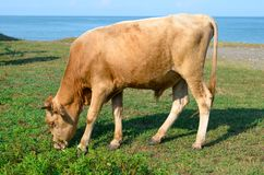 Young bull grazing in a meadow near the sea royalty free stock photography