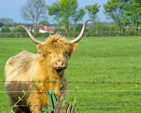 A young bull with large horns Royalty Free Stock Photo