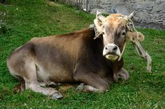 Young bull lying on the green grass, farm animal Royalty Free Stock Images