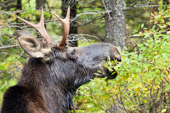 Young Bull Moose Royalty Free Stock Photo