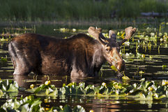 Young Bull Moose Stock Photography