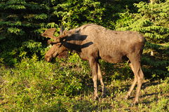 A Young Bull Moose Stock Images