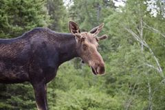 Young Bull Moose Stock Images