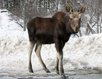 Young Bull Moose. A young Bull moose crossing a mountain road in Vermont Stock Photography