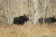 Young Bull Moose Royalty Free Stock Images