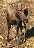 Young bull moose browsing. A young bull moose browsing on fallen leaves Royalty Free Stock Images