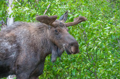 Young Bull Moose Royalty Free Stock Image