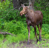 Young Bull Moose Stock Photo