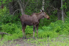 Young Bull Moose Stock Image