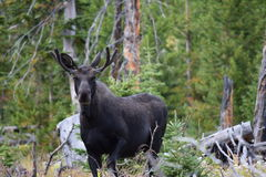 Young bull moose. In Montana Stock Photography