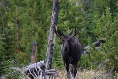 Young bull moose Royalty Free Stock Photos