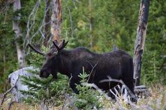 Young bull moose. In Montana Stock Photos