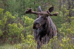 Munching Moose. Young Bull moose munching on twigs in Algonquin Provincial park Ontario early on a spring morning. Telephoto lens used to stay a safe distance stock images