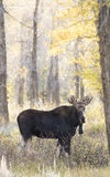 Young bull moose in pastel setting in early morning light with s Royalty Free Stock Images