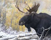 Young bull moose portrait with cottonwood trees Stock Photography
