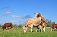 Young Bull On A Cow On A Summer Pasture Stock Image