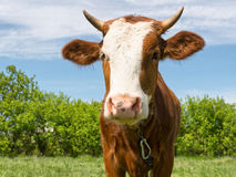 Young bull Stock Image