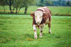Young Bull on the pasture. Young and angry bull on the pasture Royalty Free Stock Photos