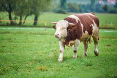 Young Bull on the pasture. Young and angry bull on the pasture Royalty Free Stock Images