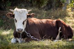 Young bull Royalty Free Stock Photo