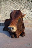 A Young Bull Rests in the Sun Royalty Free Stock Photo