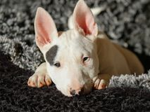 Bull terrier puppy in the sun on her bed Royalty Free Stock Photos
