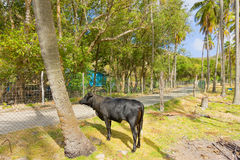 A young bull in the windward islands Stock Photography