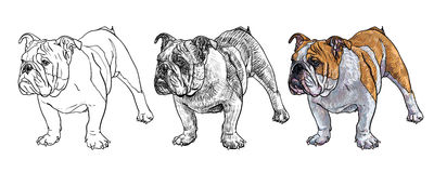 Young bulldog Royalty Free Stock Images