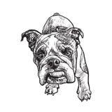 Young bulldog Royalty Free Stock Image