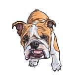 Young bulldog Stock Image