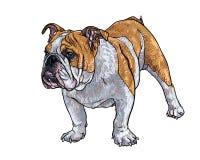 Young bulldog Stock Photo