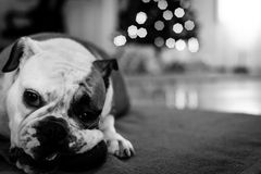 Young bulldog in studio Royalty Free Stock Images