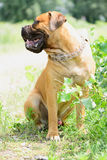 Young Bullmastiff dog Stock Image