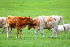 Young bulls on green meadow Royalty Free Stock Images
