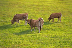 Young bulls at the pasture Stock Images