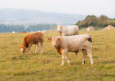 Young bulls on pasture in autumn. Young bulls breed for meat on pasture Stock Photography