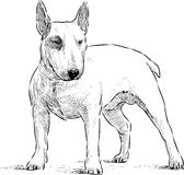 Young bullterrier Stock Photography