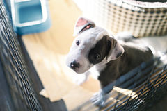 Young Bully dog. Young bully dog in cage looking a camera and need to go out Royalty Free Stock Photography
