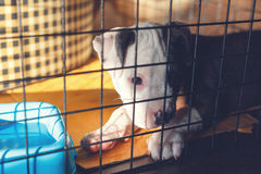 Young Bully dog. Young bully dog in cage sleeping Royalty Free Stock Image
