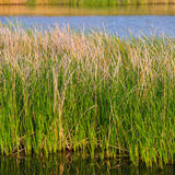 Young bulrush Royalty Free Stock Photo