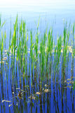 Young bulrush in the Ukrainian river. Royalty Free Stock Images