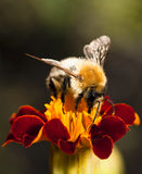 Young bumblebee at work Royalty Free Stock Photo