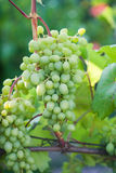Young bunch of green grapes Royalty Free Stock Photography